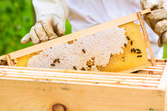 Beekeeper controlling beeyard and bees Royalty Free Stock Images