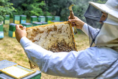 Beekeeper controlling beeyard and bees outdoor Stock Photo