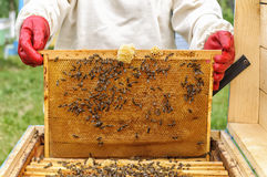 Beekeeper controlling comb frame Royalty Free Stock Photo