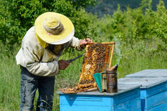 Beekeeper cuts beyond larvae of bees male. Apiculture. Stock Image