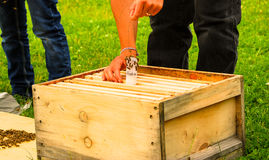 A beekeeper drops a Queenbee into a new hive. To create a new colony Royalty Free Stock Photography
