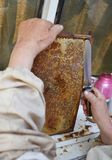 Old beekeeper extracting fresh honey from a honeycomb with a knife tool. Royalty Free Stock Images
