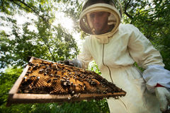 Beekeeper with a frame full of bees Stock Image