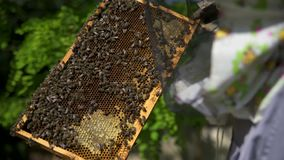 The beekeeper gently pulls out the honeycomb from the hive and looks at it. stock video footage