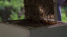 The beekeeper gently pulls out the honeycomb from the hive and looks at it. Watches the honey cell for the presence of stock footage