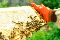 A beekeeper in gloves takes out the frames of the hive for verification. royalty free stock photos