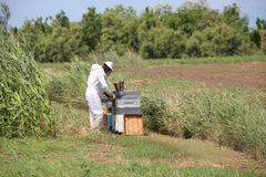 Beekeeper during harvesting honey and many hives with bees in th. Beekeeper with protective suit harvesting honey and many hives with bees in the field Royalty Free Stock Photos