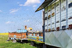 Beekeeper and his mobile beehives. In oilseed rape farmland during spring Stock Image