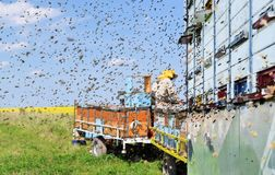 Beekeeper and his mobile beehives. In oilseed rape farmland during spring Stock Images