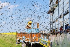 Beekeeper and his mobile beehives. In oilseed rape farmland during spring Stock Photography