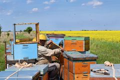 Beekeeper and his mobile beehives. In oilseed rape farmland during spring Stock Photos