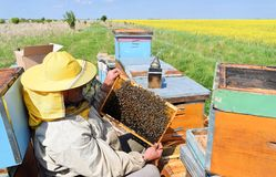 Beekeeper and his mobile beehives. In oilseed rape farmland during spring Royalty Free Stock Images