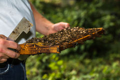 Beekeeper with hive tool in the hand, makes a hive inspectio Royalty Free Stock Photography