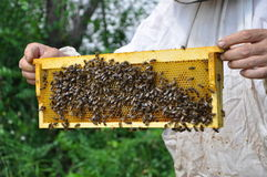 Beekeeper holding cell with bees and honey Royalty Free Stock Images