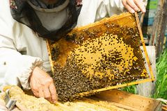 A beekeeper is holding a frame with honey and bees. Beekeeping work on the apiary. Selective focus. Horizontal frame stock photo