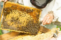 A beekeeper is holding a frame with honey and bees. Beekeeping work on the apiary. Selective focus. Horizontal frame royalty free stock image