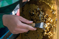 Beekeeper holding a frame of honeycomb with bees and cleaning of drones. Beekeeper holding frame of honeycomb with bees and cleaning of drones royalty free stock photos
