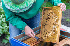 Beekeeper holding a frame of honeycomb with bees and cleaning of drones. Beekeeper holding frame of honeycomb with bees and cleaning of drones royalty free stock photography