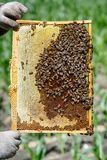 The beekeeper is holding a frame with honeycomb on which bees are crawling Royalty Free Stock Images