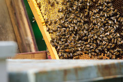 Beekeeper holding frame of honeycomb with working bees outdoor Stock Photo