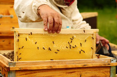 Beekeeper holding frame of honeycomb stock images