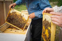 Beekeeper holding frame of honeycomb with working bees outdoor. Beekeeper controlling beeyard and bees Royalty Free Stock Photography