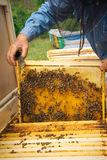 Beekeeper holding frame of honeycomb with working bees outdoor Stock Images
