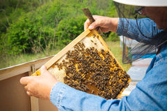 Beekeeper holding frame of honeycomb with working bees outdoor Royalty Free Stock Photo