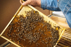 Beekeeper holding frame of honeycomb with working bees outdoor. Beekeeper controlling beeyard and bees Royalty Free Stock Image