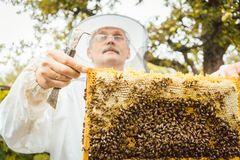 Beekeeper holding honeycomb with bees in his hands. Looking at it Stock Images
