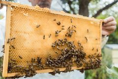 Beekeeper holding honeycomb with bees in his hands. Checking it Royalty Free Stock Image