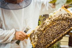 Beekeeper holding honeycomb with bees in his hands. Looking at it Stock Photos