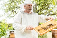 Beekeeper holding honeycomb with bees in his hands. Looking at it Royalty Free Stock Photography