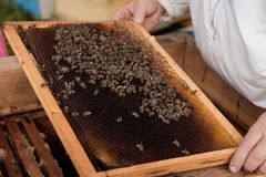 Beekeeper holding a honeycomb with bees and honey at beehive royalty free stock photo