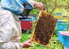 Beekeeper holdind a honeycomb with bees royalty free stock photography