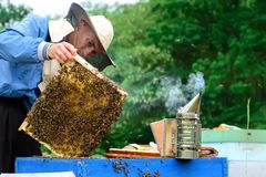 Beekeeper holding a honeycomb full of bees. Beekeeper in protective workwear inspecting honeycomb frame at apiary stock photos