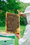 Beekeeper holding a honeycomb full of bees. Beekeeper in protective workwear inspecting honeycomb frame at apiary Royalty Free Stock Photo