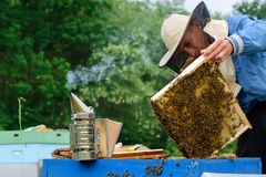 Beekeeper holding a honeycomb full of bees. Beekeeper inspecting honeycomb frame at apiary. Beekeeping concept. stock images