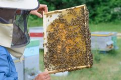Beekeeper holding a honeycomb full of bees. Beekeeper in protective workwear inspecting honeycomb frame at apiary Stock Photography
