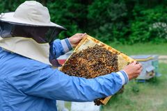 Beekeeper holding a honeycomb full of bees. Beekeeper in protective workwear inspecting honeycomb frame at apiary stock photo