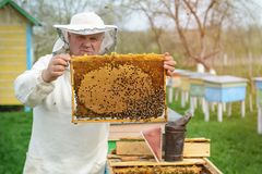 Beekeeper holding a honeycomb full of bees. Beekeeper in protective workwear inspecting honeycomb frame at apiary. Works on the ap stock photography
