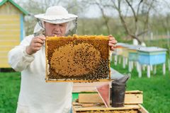 Beekeeper holding a honeycomb full of bees. Beekeeper in protective workwear inspecting honeycomb frame at apiary. Works royalty free stock photography