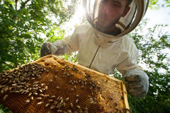 Beekeeper holding a honeycomb full of bees Stock Photography