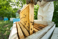 Beekeeper holding a honeycomb full of bees Royalty Free Stock Photography