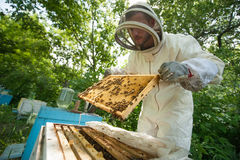 Beekeeper holding a honeycomb full of bees Stock Image