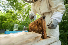 Beekeeper holding a honeycomb full of bees Royalty Free Stock Images