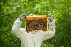 Beekeeper holding a honeycomb full of bees Royalty Free Stock Image