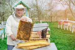 Beekeeper holding a honeycomb full of bees. Beekeeper in protective workwear inspecting honeycomb frame at apiary. Works stock photo