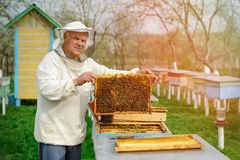 Beekeeper holding a honeycomb full of bees. Beekeeper in protective workwear inspecting honeycomb frame at apiary. Works on the ap royalty free stock photos