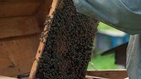 Beekeeper holding honeycomb with swarming bees. stock footage